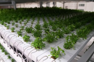 The plants rely on recycled and nutrient-rich water and LED lights to grow.